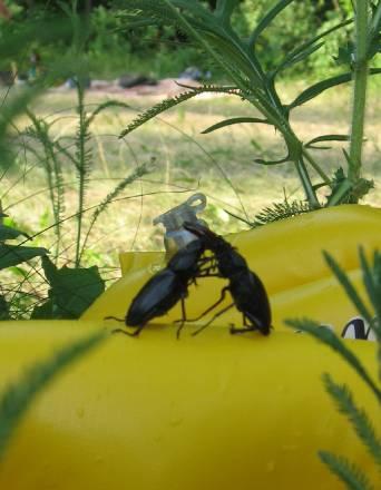 борьба жуков или любовь?