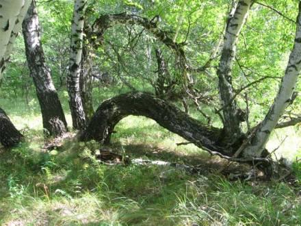 Береза на Медведицкой гряде