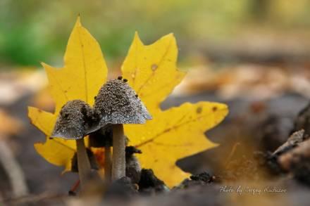 Под кленовым листом