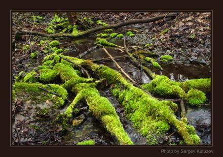 Мхи старого леса