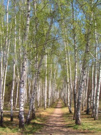 Березовая аллея на Кумысной поляне