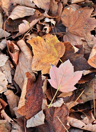 Клён величественный. Осенняя листва
