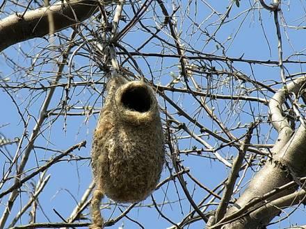 Гнездо синички ремез