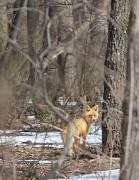 Любопытная лиса в весеннем лесу