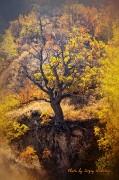 Кощеев дуб