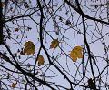Клён Величественный. Осень.